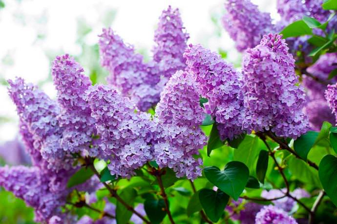cvetushiedekorativniekustarnikidlyadachi_5017426A.jpg