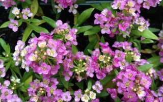 Алиссум: виды и сорта, использование в дизайне сада, партнеры