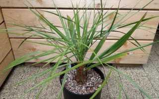 Пальма бутия – уход в домашних условиях