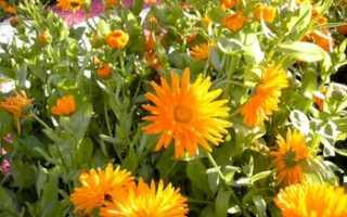 Календула — лечебные свойства и противопоказания растения