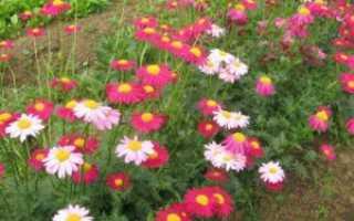 Как вырастить пиретрум на садовом участке: полезные советы для каждого
