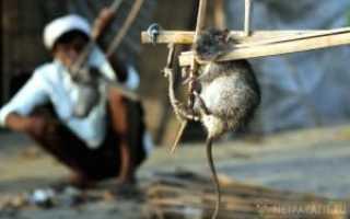 7 эффективных ловушек для крыс своими руками