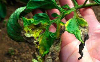 Чем обработать теплицу от фитофторы осенью