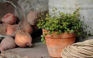 Мюленбекия – уход в домашних условиях