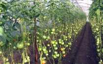 7 болезней томатов в теплице их профилактика и лечение