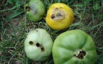 Вредители томатов: описание и фото, как бороться, профилактические обработки