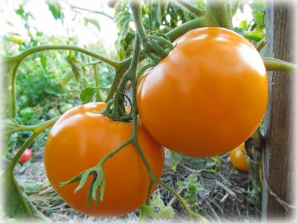 Желтые помидоры сорта: популярные разновидности томатов