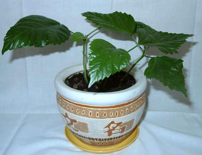 Выращиваем алычу в средней полосе и Подмосковье