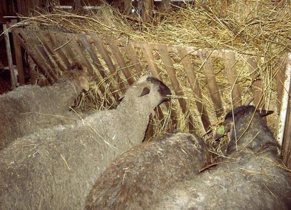 Как удобрять огород овечьим навозом