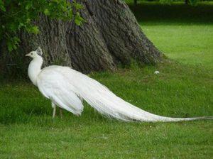 Белый павлин характеристика как раскрывает хвост фото