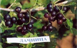 Сорт черной смородины Дачница