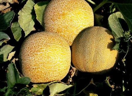 Дыня Колхозница: описание сорта, особенности выращивания и ухода в открытом грунте и теплице, фото и отзывы