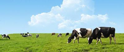У коровы мастит чем лечить антибиотики препараты мазь
