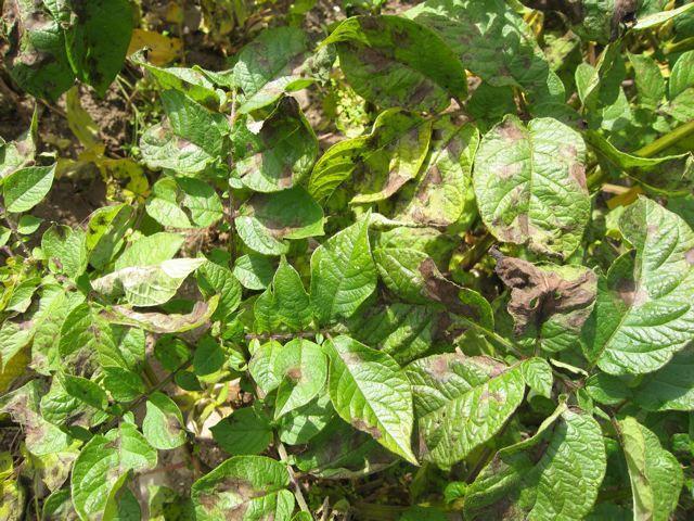 Фитофтороз признаки болезни и способы лечения картофеля