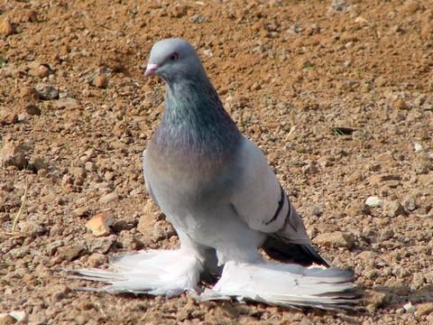 Голуби агараны описание породы