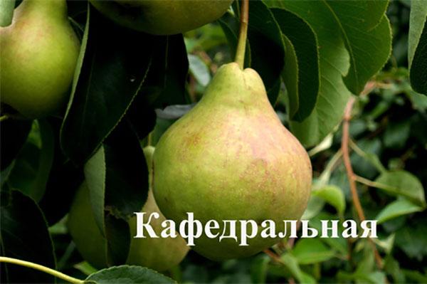Груша Кафедральная — описание сорта, правила посадки и ухода фото