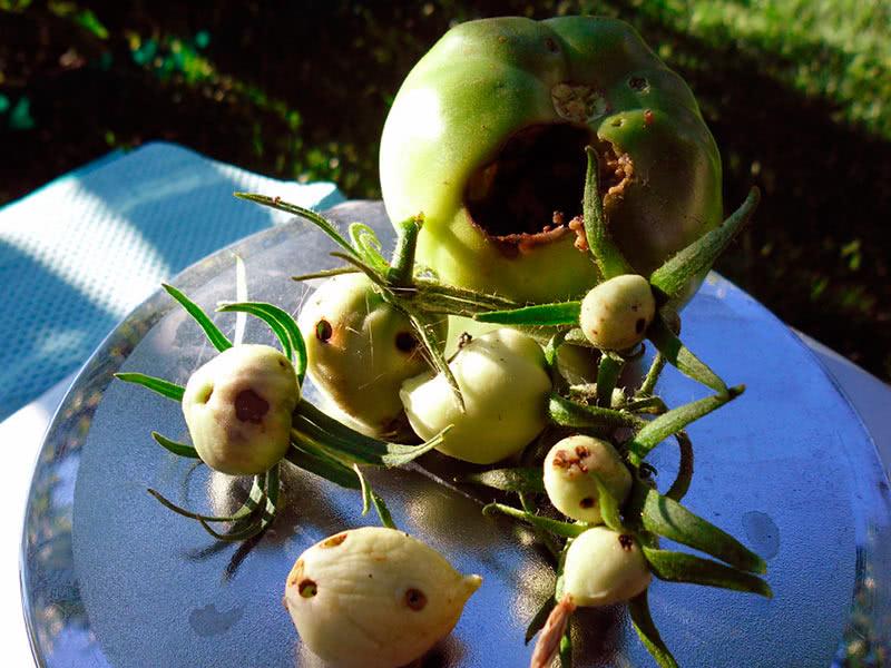 Препараты от совки на помидорах