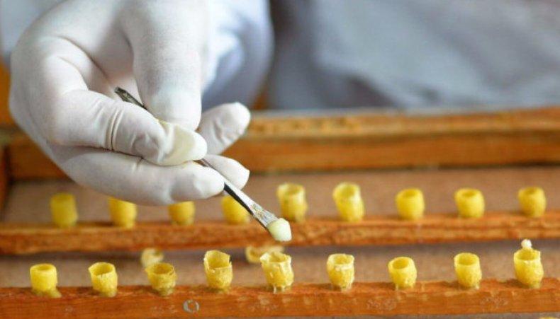 Как добывают маточное молочко секреты пчеловодов