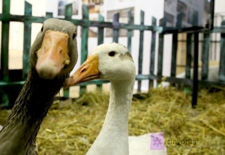 Как посадить утку высиживать яйца