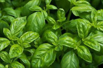 Как посадить и вырастить базилик из семян