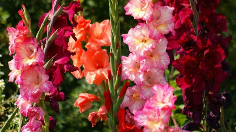 Как вырастить гладиолусы для раннего цветения