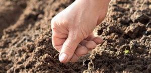 Катран из семян в домашних условиях. Хрен катран – выращивание