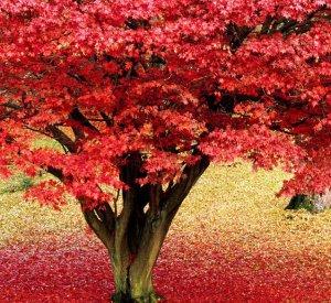 Почва для клена красного