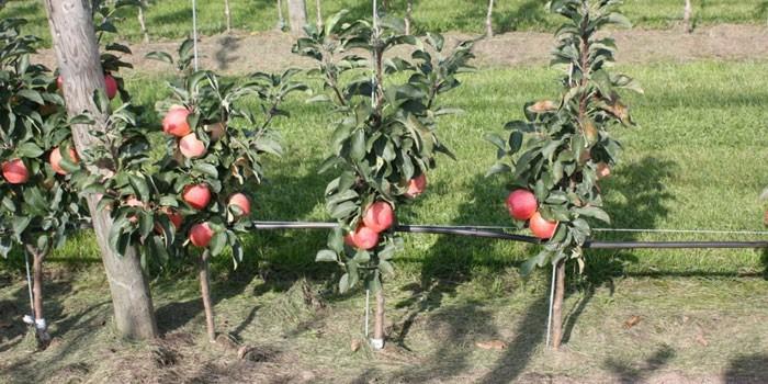 Колоновидная яблоня посадка и уход: посадка колоновидных яблонь весной, правильная схема посадки, как сажать и ухаживать за колоновидной яблоней