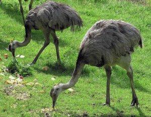 Что едят страусы: чем кормить в домашних условиях