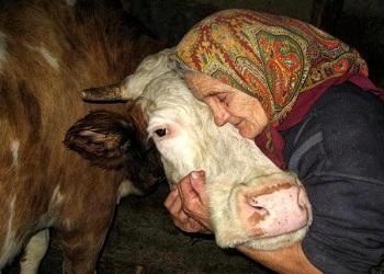 Корова плохо ест сено: почему, что делать