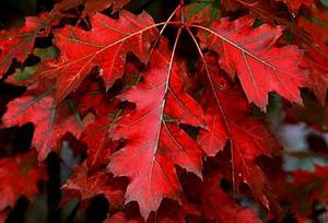Красный дуб описание посадка и уход