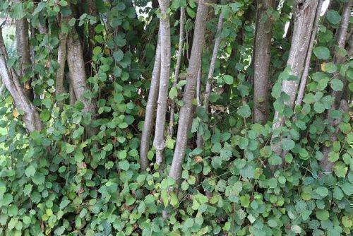 Орех фундук и лещина: в чем разница, как растет, как цветет (фото)