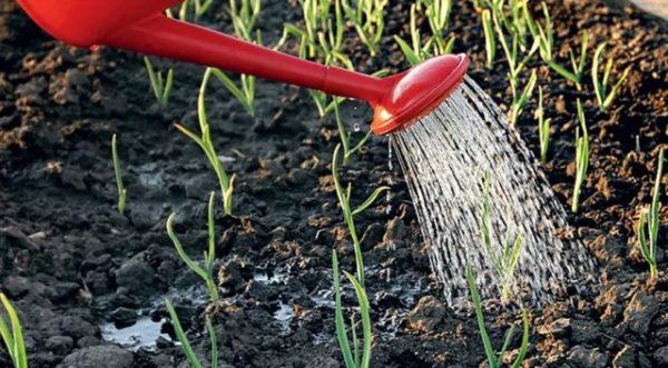 Многоярусный лук: выращивание, полезные свойства