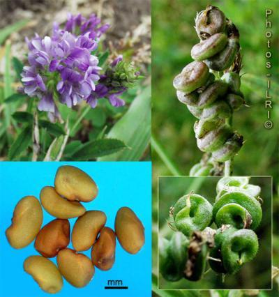 Выращивание люцерны как сидерата