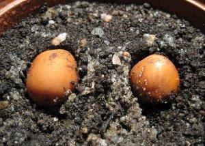Размножение магнолии черенками