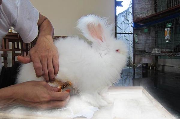 Мастит у кролей фото
