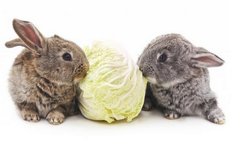 Можно ли декоративному кролику пекинскую капусту