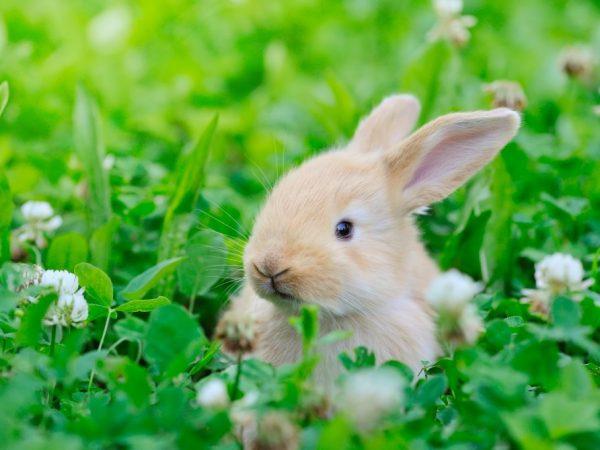 Можно ли давать кроликам лебеду