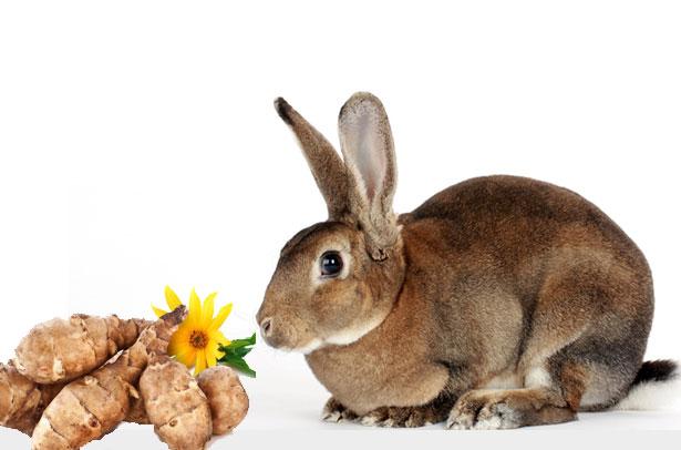 Можно ли давать кроликам топинамбур и его листья{q} || Топинамбур для кроликов