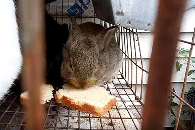Можно ли кроликам давать хлеб, кормить ли кроликов сухарями