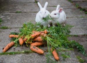 Можно ли кроликам свежую и квашеную морковь