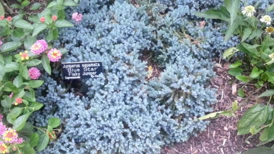 Выращивание можжевельника Блю стар на своем участке