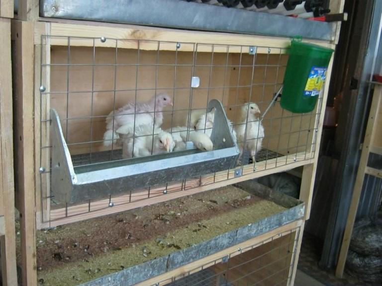 Несут ли куры бройлеры яйца в домашних условиях