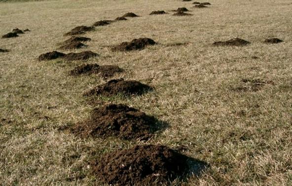Норы на грядках: кто роет в огороде кроме крота (описание и фото)