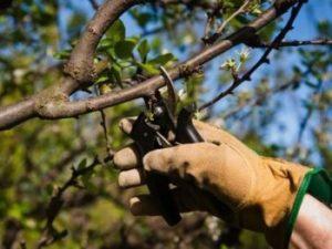 Обрезка яблонь весной для новичков, 6 самых важных правил обрезания