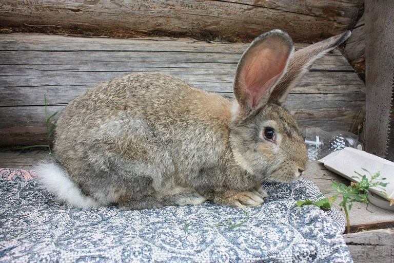 Породы кроликов мясные и декоративные для домашнего разведения