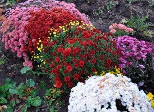 Особенности посадки и ухода за хризантемой мультифлора