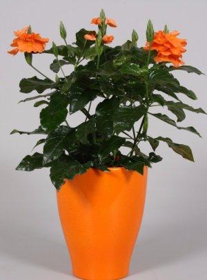 Выращивание кроссандры из семян