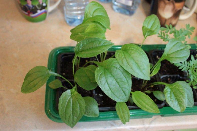 Эхинацея посадка и уход за многолетним растением