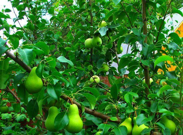 Секреты прививки яблонь весной для начинающих